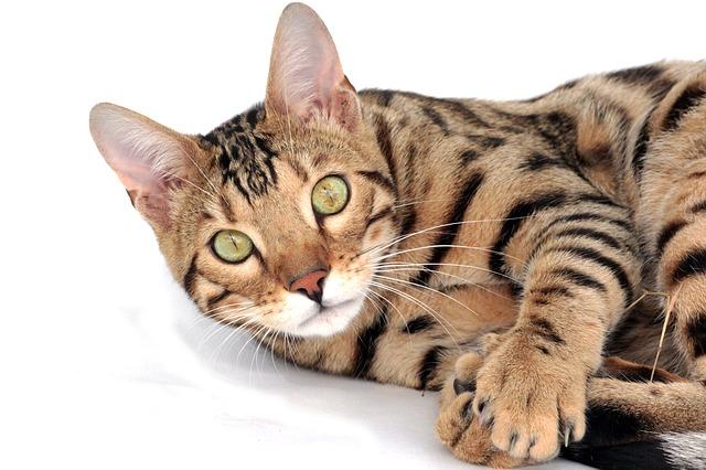 gatto_bengala_121
