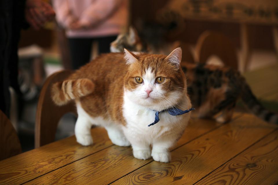 gatto Munchkin foto