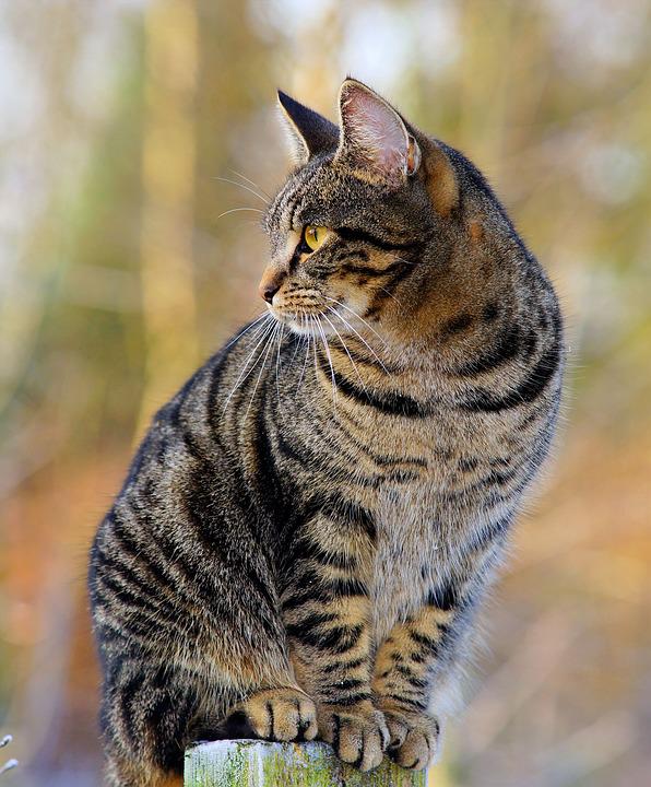 gatto-tigrato-foto