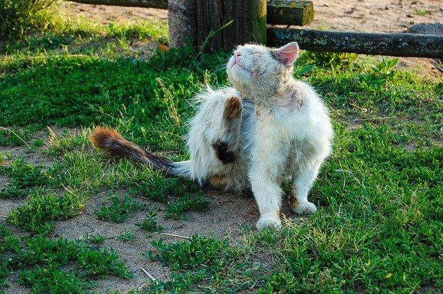 dermatite gatto da pulci