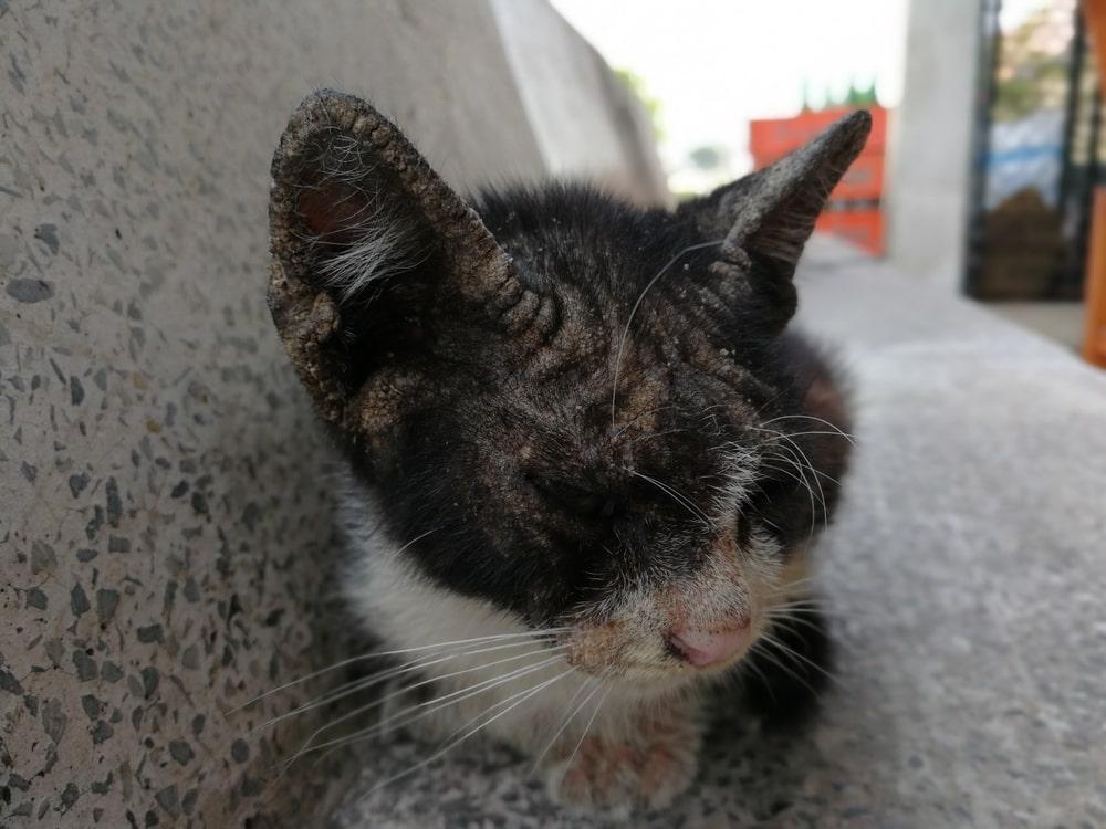 dermatite-felina-cibo