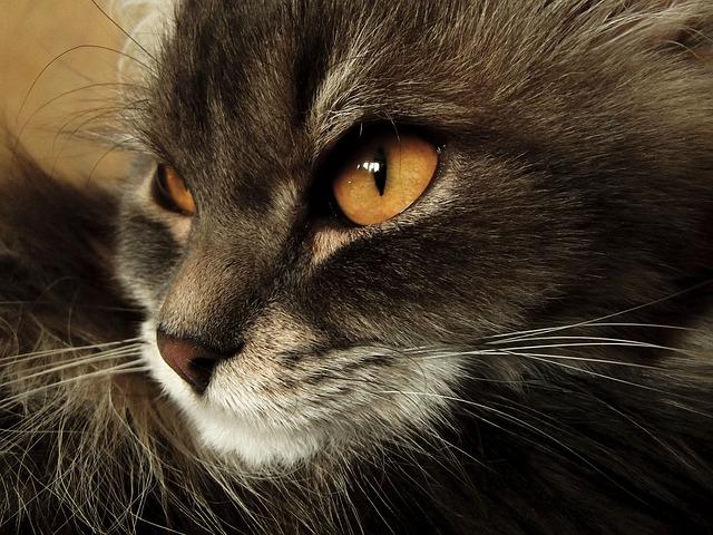 Liquido nei polmoni dei gatti